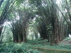 Wisata Hutan Bambu