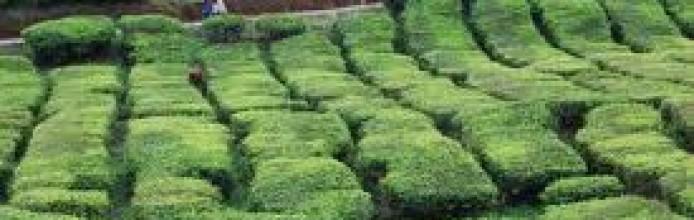 Solok Tea Plantation