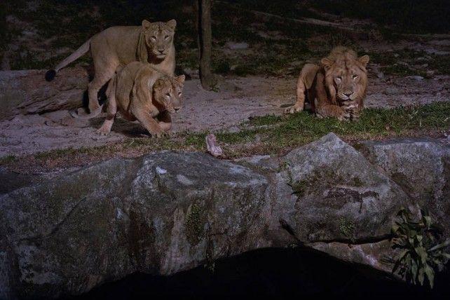 Night Safari Admission with Tram Ride